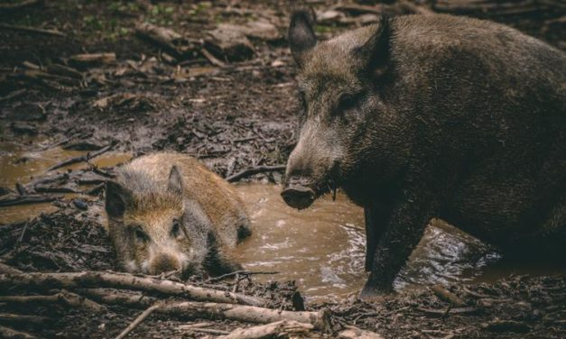 Wild Pigs – Strategic Planning for Managing the Unwanted Neighbor